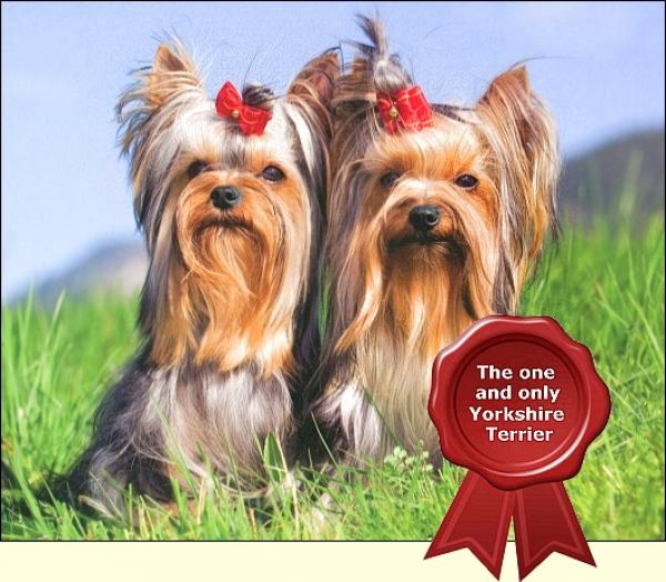 1. Deutscher Yorkshire-Terrier-Club